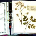 Herbarium-Engelwurz_800
