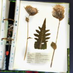 Herbarium-Kohlkratzdistel_800