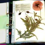 Herbarium-Mohnblume
