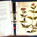 Herbarium-Wasserdost2_800